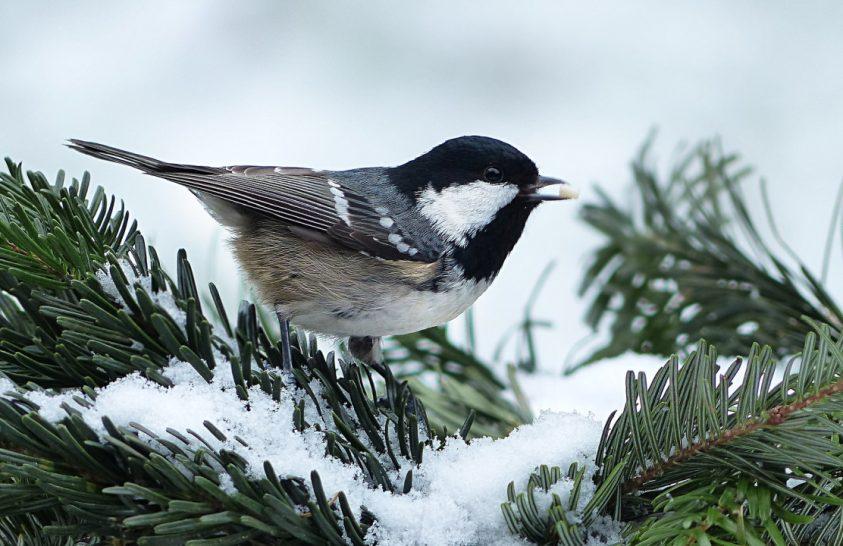 Hőtermelővé alakul télen a madarak vére