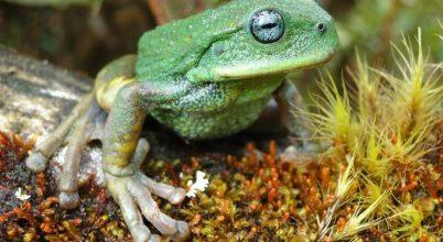 Új erszényesbéka-fajra bukkantak az esőerdő mélyén