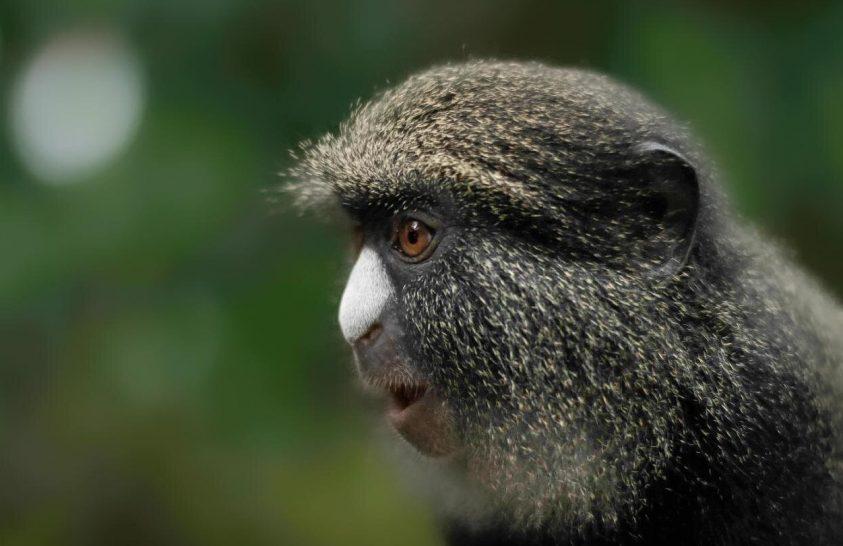 A majmok világában is vannak lovagok