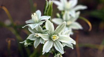 Tavasszal nyíló csillagvirágú növény