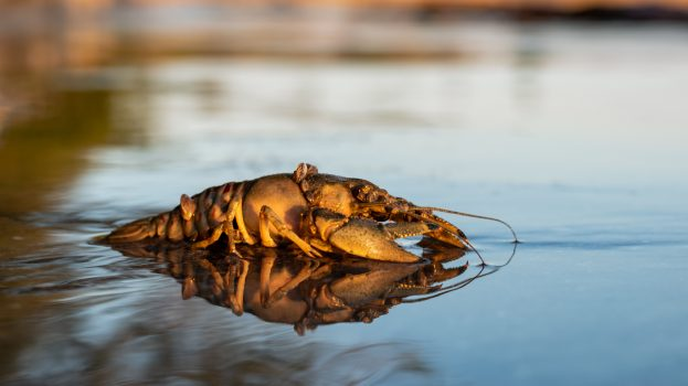 A nap képe: Balatoni kecskerák