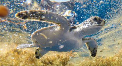 Kiderült, hova tűnnek a teknősök az elveszett éveik idejére