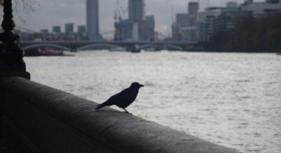 Így hat a városi zaj a madarakra