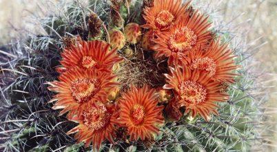 Idén a hordó alakú kaktuszoké a főszerep