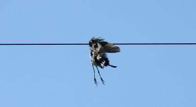 Az elmúlt évben is sok madár pusztult el áramütés miatt Magyarországon