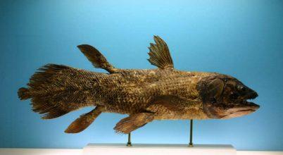 Madagaszkár környéke lehet a bojtosúszós halak fő élőhelye