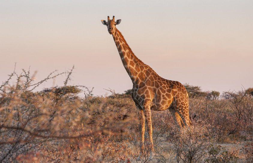 Mi a zsiráfok jól működő vérnyomásának titka?