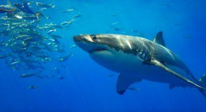 Segítheti-e a Föld mágneses tere a cápák tájékozódását?