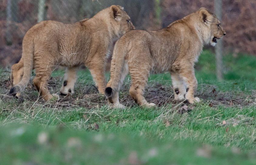Betiltják a vadászati célú oroszlántenyésztést Dél-Afrikában