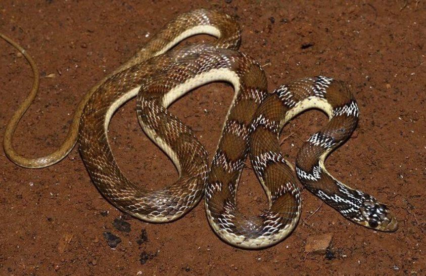 18. századi rajzok segítségével fedeztek fel egy új kígyófajt