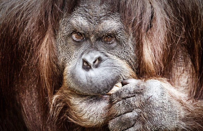 A véltnél nagyobb veszélyben lehetnek a borneói orangutánok