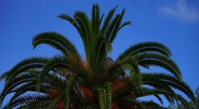 Bibliai időkből származó pálmákat támasztottak fel