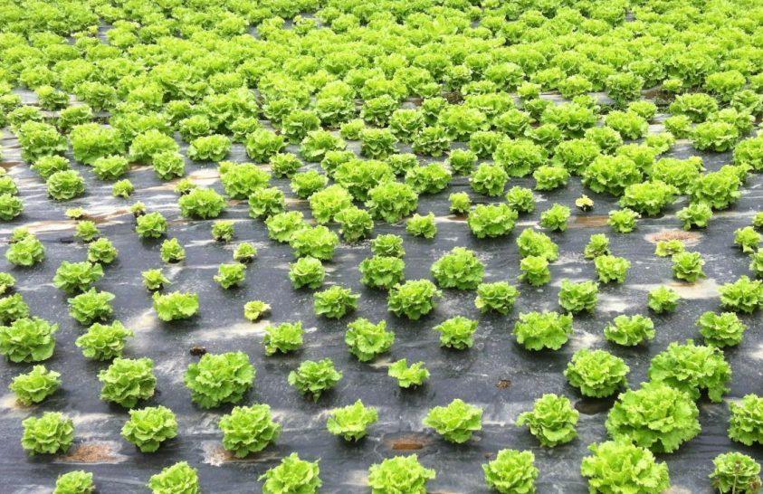 Sör segítheti a salátatermesztőket