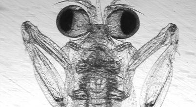 A sáskarákok már bébiként is pofonokat osztanak