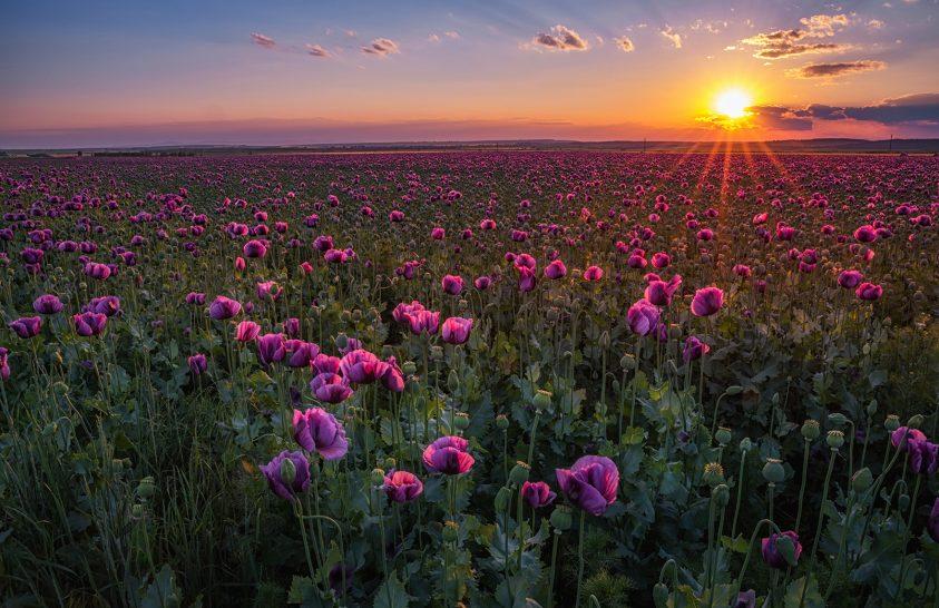 A nap képe: Mákvirágmező naplementében