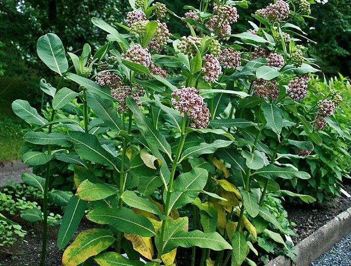 Az inváziós növények sikerének háttere