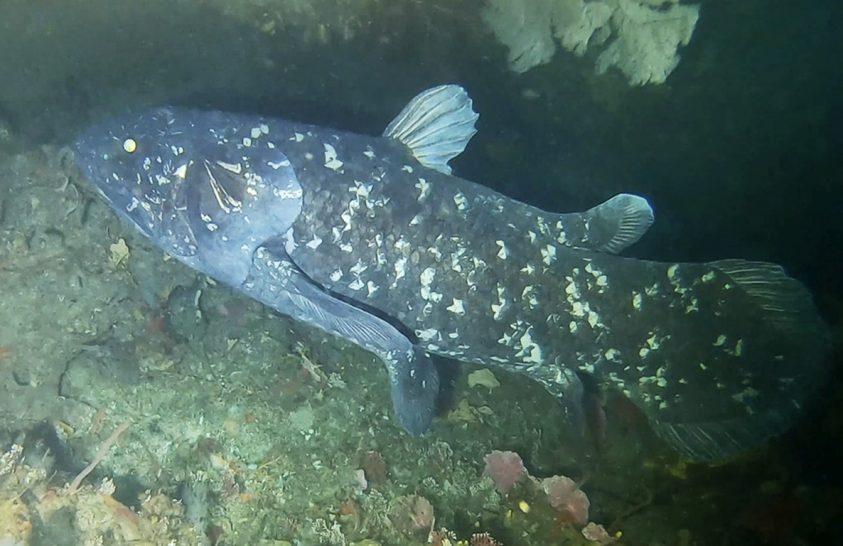 Akár száz évig is élhet a bojtosúszós maradványhal