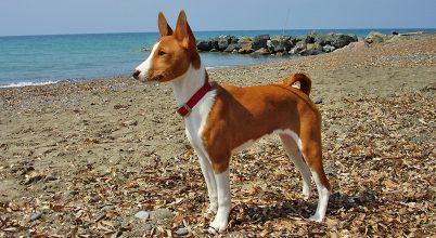 Egy ősi kutyafajta segítheti a kutyák evolúciójának jobb megértését