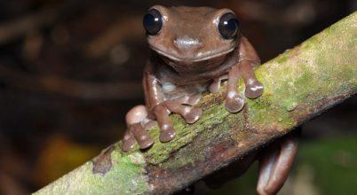 Csokoládészínű békát fedeztek fel Új-Guineában