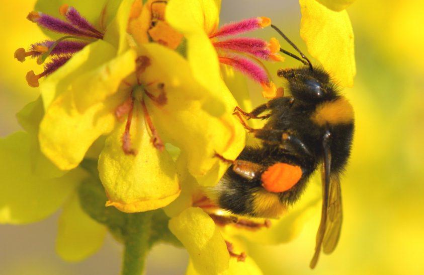 A poszméhek érzékelik a virágok nedvességét