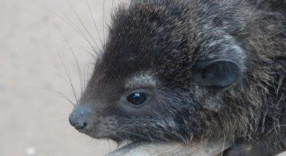 Új emlősfajt írtak le Afrikában
