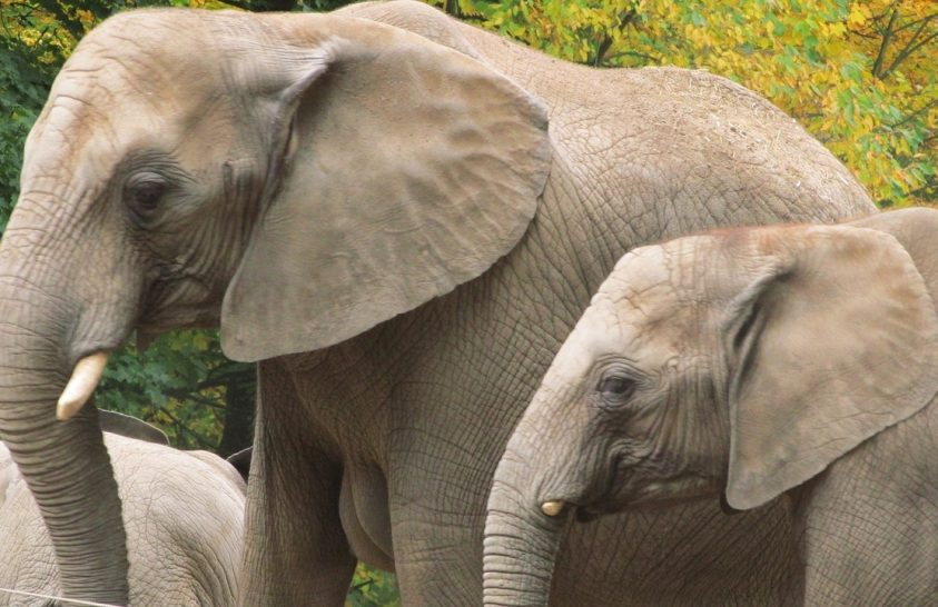 Az elefánt személyisége meghatározó a problémamegoldásában