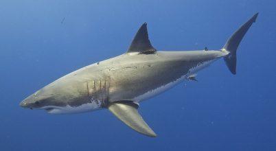 19 millió éve majdnem kihaltak a cápák