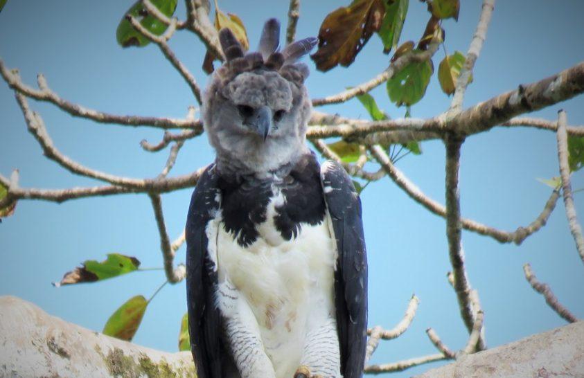 Nincs esélyük túlélni az amazonasi erdőirtást a hárpiáknak