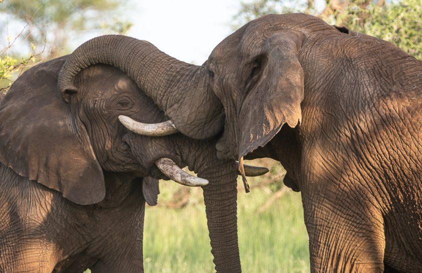 Elkészült az afrikai elefánt viselkedési atlasza