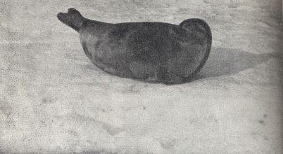 Egy finnországi tóban él a világ legveszélyeztetettebb fókája