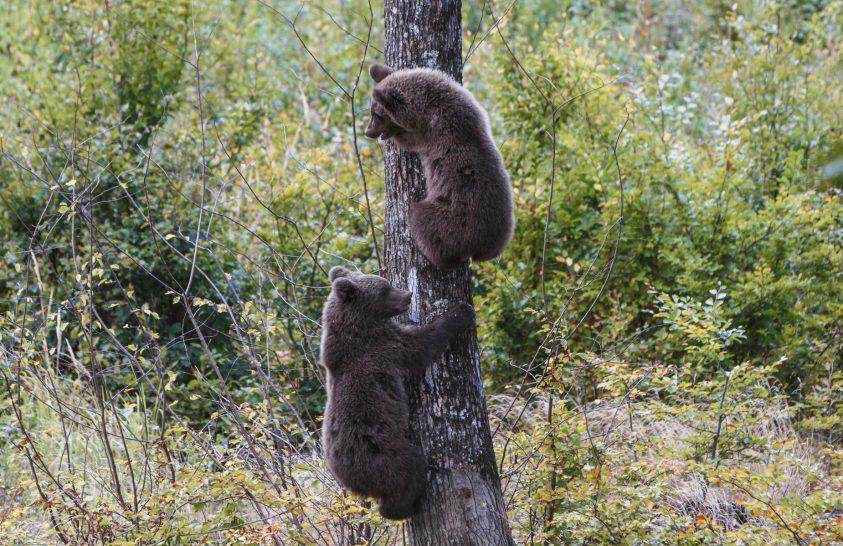 Medveállomány felmérése Romániában