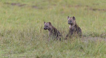 Vakmerőbbek lesznek az oroszlánokkal a toxoplazmózisos hiénakölykök