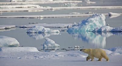 Olvadásnak indult a jegesmedvék utolsó menedéke is