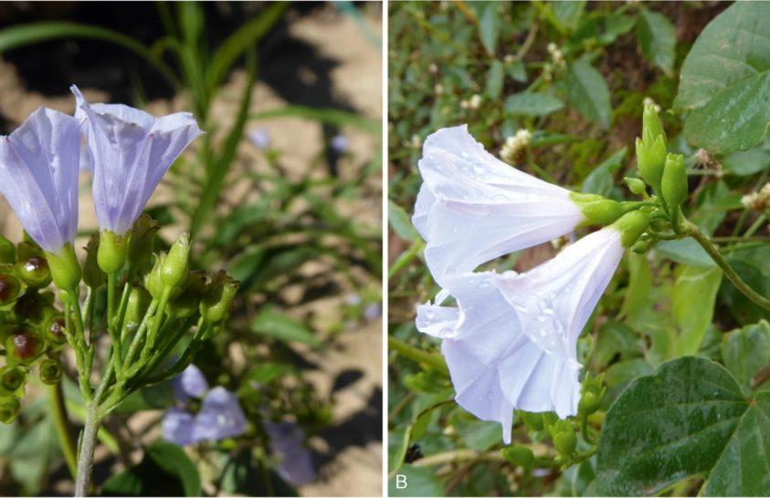 Öt új növényfajt találtak Bolíviában