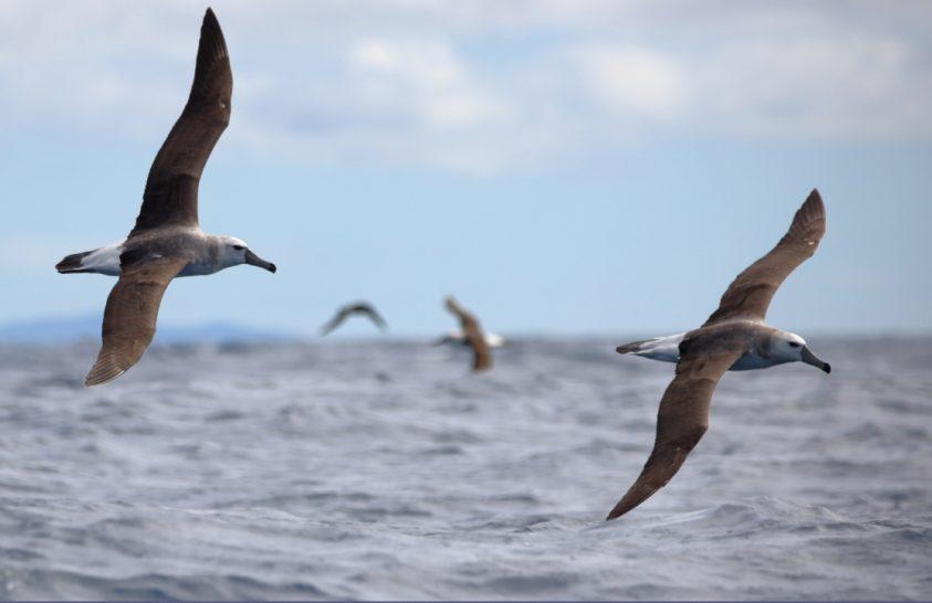Miért sötét a tengeri madarak szárnya?