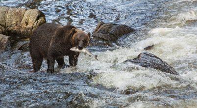 Élőben nézhetjük a lazacra váró medvéket