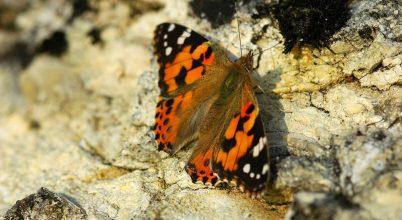 A rovarvilág hosszútávú vándorainak harmonikus színvilága