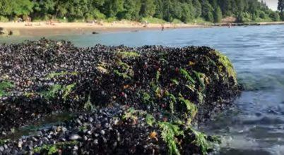 A hőhullám tengeri állatokat pusztított Brit Columbia partjainál