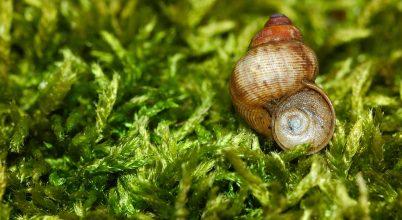 A Tihanyi-félsziget különleges csigája