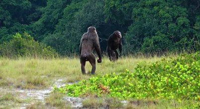 Csimpánzok támadtak gorillákra