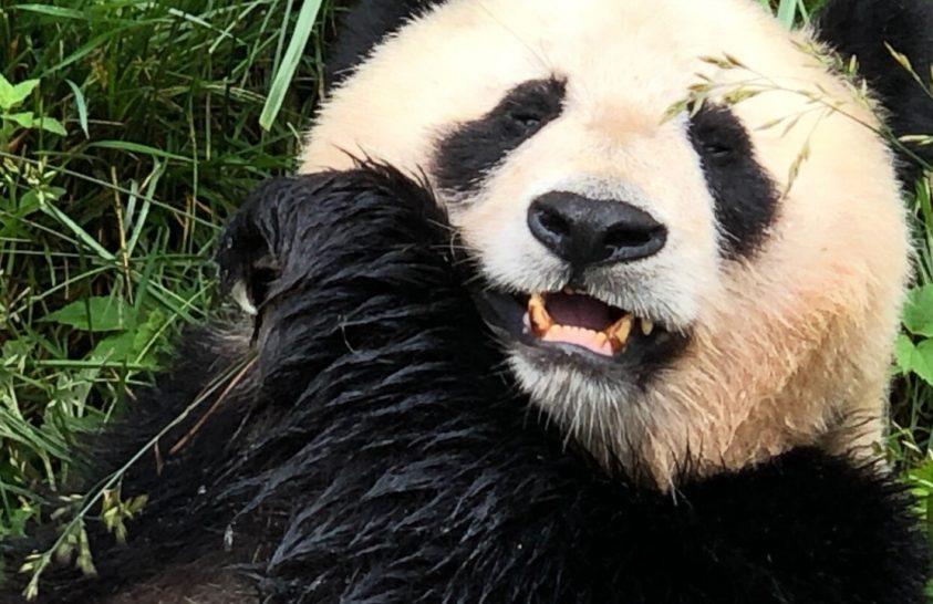 Mi segítette a pandák bambuszdiétára való áttérését?