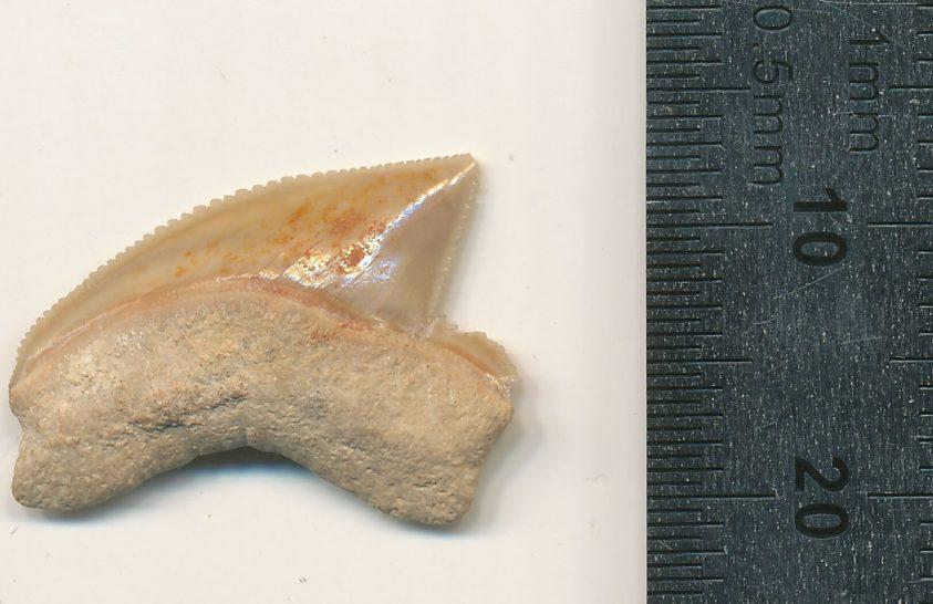 Meglepő helyen kerültek elő ősi cápafogak