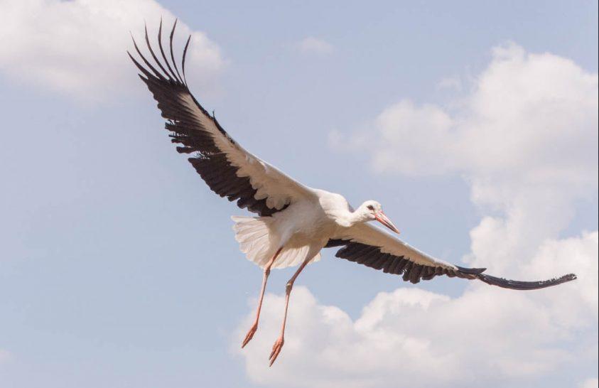 A gyógyult gólyák is indulnak vándorútjukra