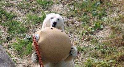 Lehet, hogy a jegesmedvék képesek eszközökkel vadászni?