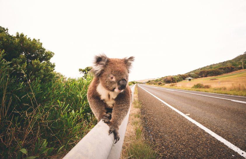 Különleges technológia védi a koalákat a közutakon