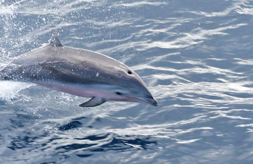 Új, delfinekre és bálnákra veszélyes vírust azonosítottak