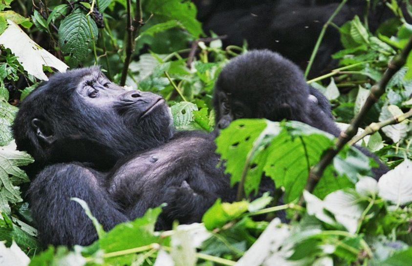 Hegyi gorilla bébi született a Virunga Nemzeti Parkban