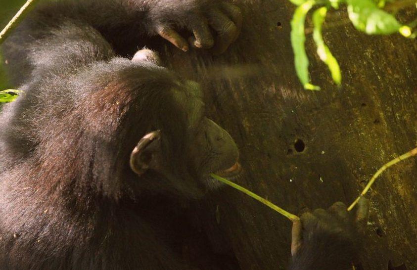 A csimpánzok még nem léptek be a kőkorszakba