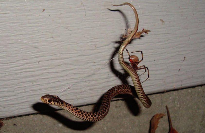 Kígyóevő pókok
