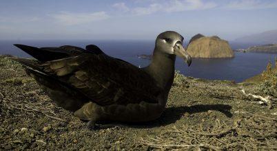Miként lehet megmenteni az albatroszokat a tengerszint emelkedésétől?